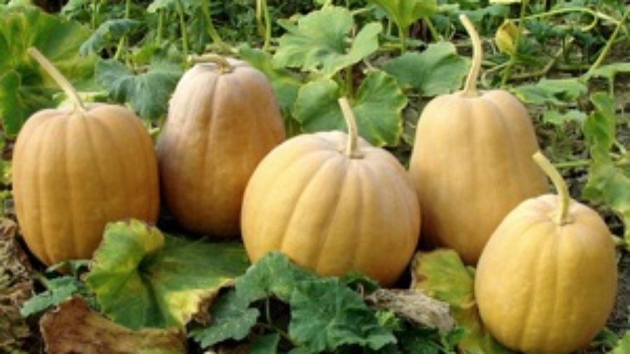 Pumpkins - charlotte weight loss programs